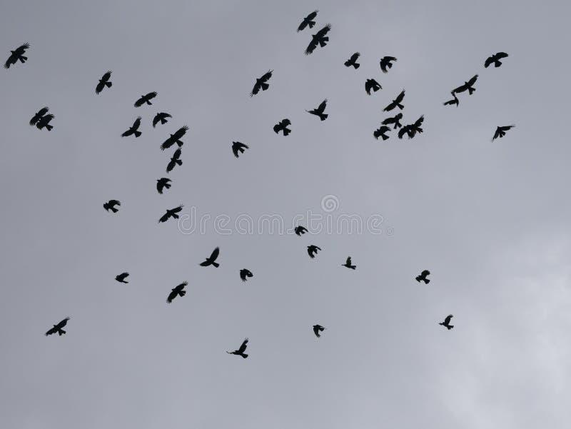 Les oiseaux noirs en vol en ciel photo stock