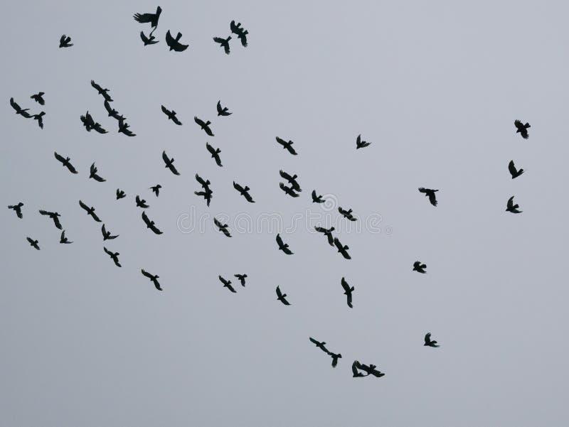 Les oiseaux noirs en vol en ciel images stock
