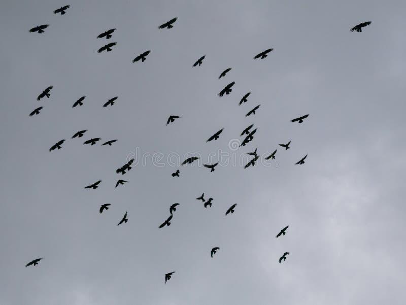 Les oiseaux noirs en vol en ciel photos stock