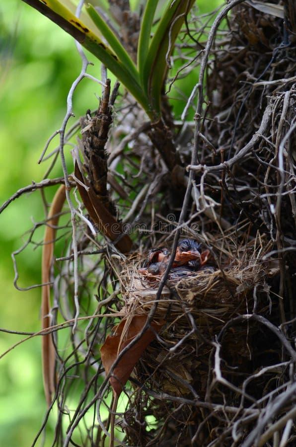 Les oiseaux rouge-barbus de bulbul de bébé dans le nid photographie stock libre de droits