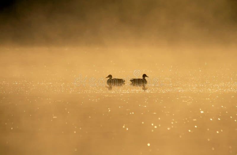 Les oiseaux s'accouplent sur un lac à l'aube images stock