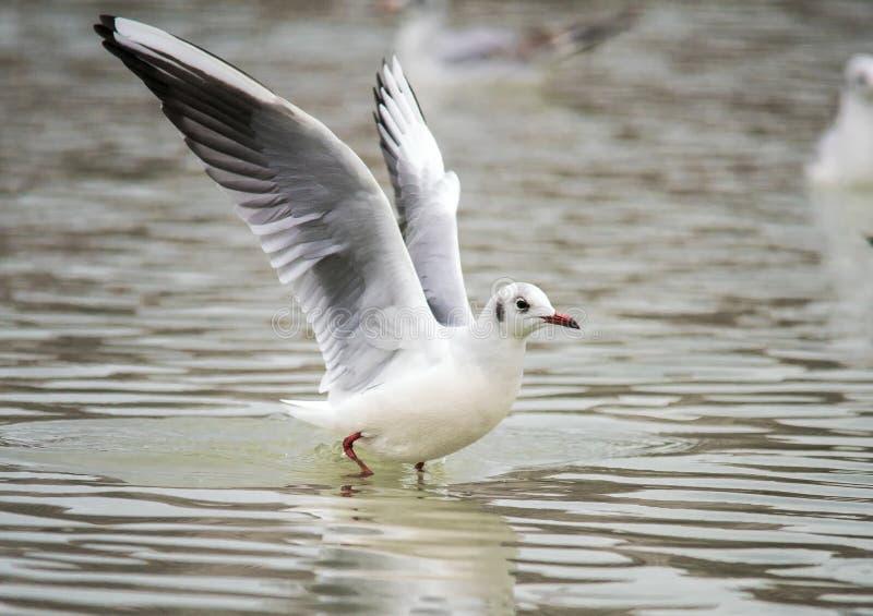 Les oiseaux sarcle des ailes un décollage de plume pour piloter l'eau une portée de bec photo libre de droits