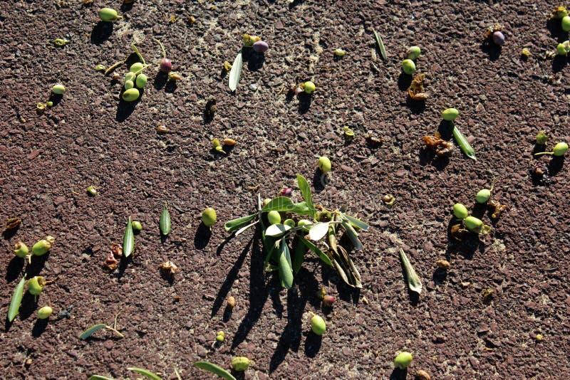 Les olives vertes se trouvant au sol après un troupeau des corellas a été occupée. photos stock