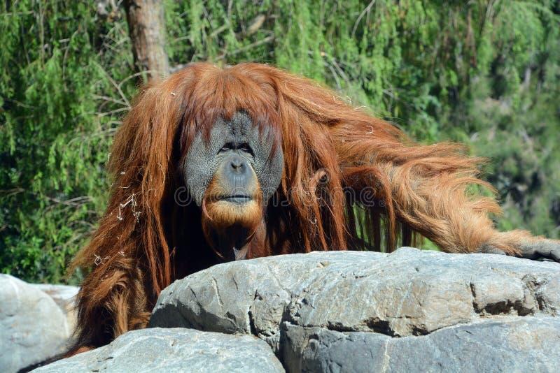 Les orangs-outans photos stock