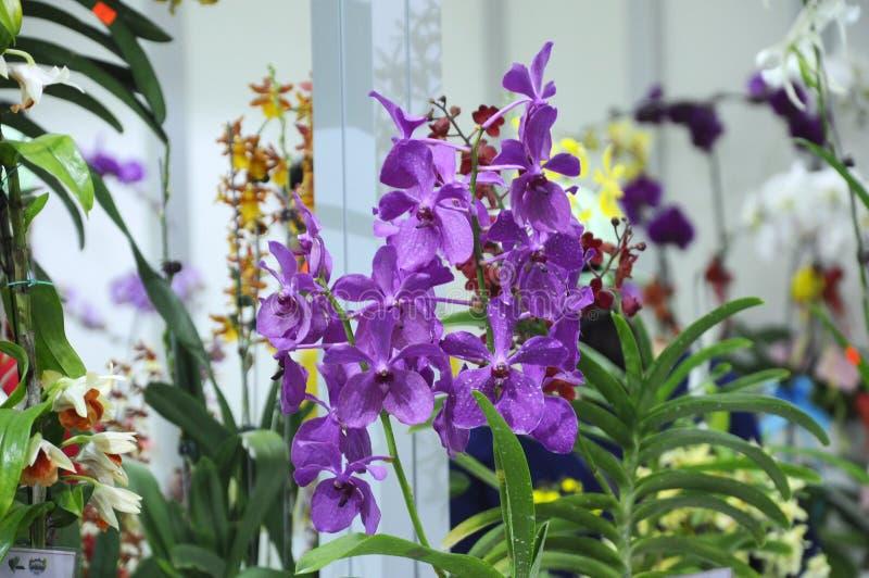Les orchidées exotiques fleurissent à l'intérieur de la crèche d'intérieur images stock