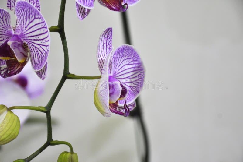 Les orchidées exotiques fleurissent à l'intérieur de la crèche d'intérieur photographie stock