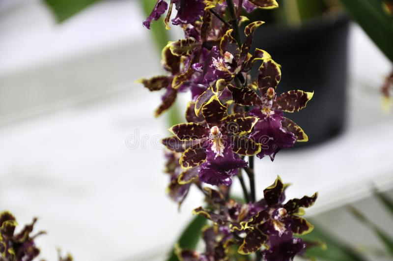 Les orchidées exotiques fleurissent à l'intérieur de la crèche d'intérieur photographie stock libre de droits