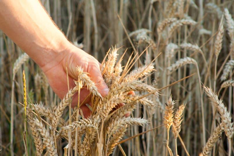 Les oreilles de blé dans des mains de producteur se ferment sur le champ photos stock