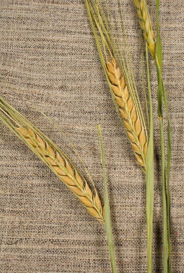 Les oreilles de blé se ferment vers le haut photos stock