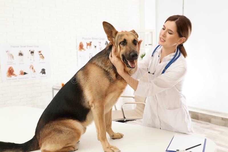 Les oreilles de chien de examen vétérinaires professionnelles photos stock