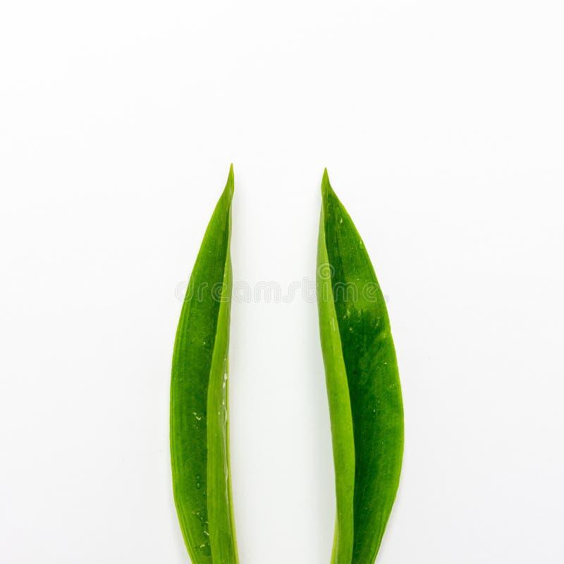 Les oreilles de lapin ont fait des feuilles vertes naturelles sur le fond blanc Concept minimal de P?ques Configuration plate image stock