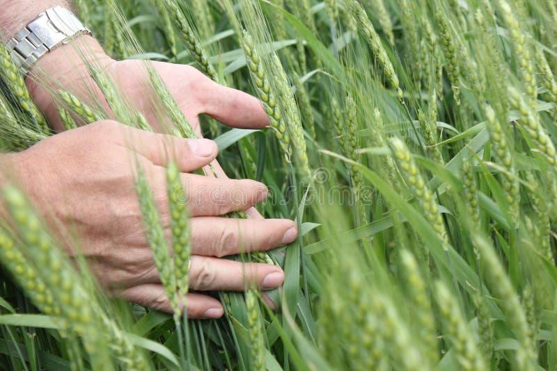 Les oreilles des blés images libres de droits