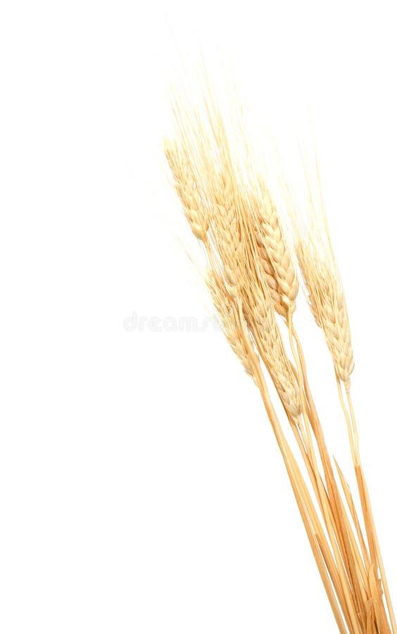 les oreilles proches lèvent le blé photos stock