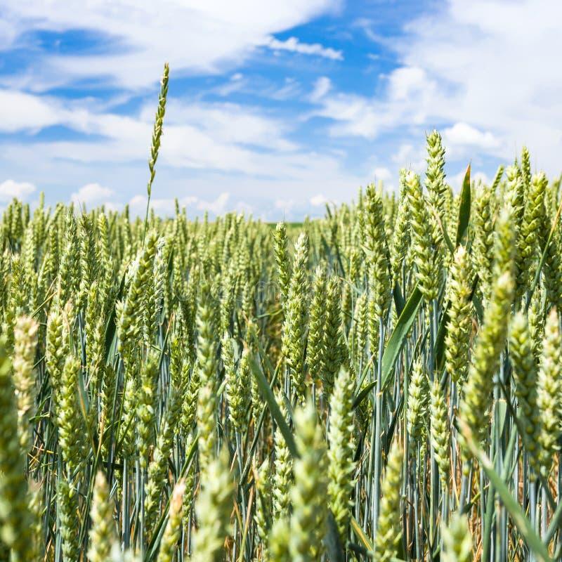 les oreilles vertes de blé se ferment sur le champ en Picardie photographie stock libre de droits