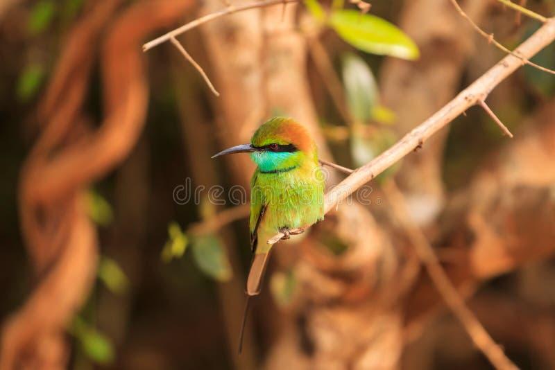 Les orientalis verts de mangeur, ou de Merops d'abeille, ont trouvé le parc national de Yala, Sri Lanka images libres de droits