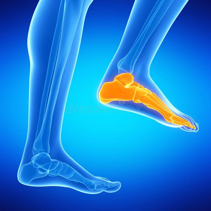 Les os de pied illustration stock