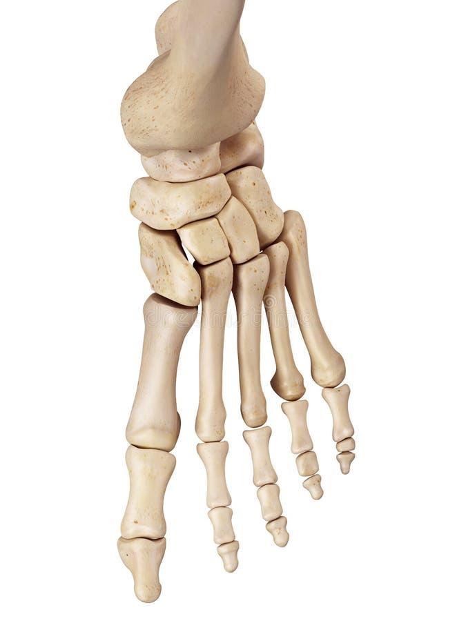Les os de pied illustration de vecteur