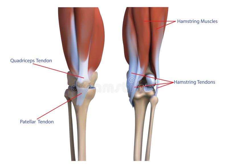 Les os et les muscles les jambes illustration libre de droits