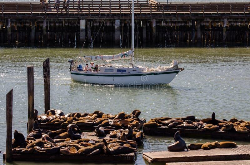 Les otaries les prennent un bain de soleil sur la jetée 39 à San Francisco photo libre de droits