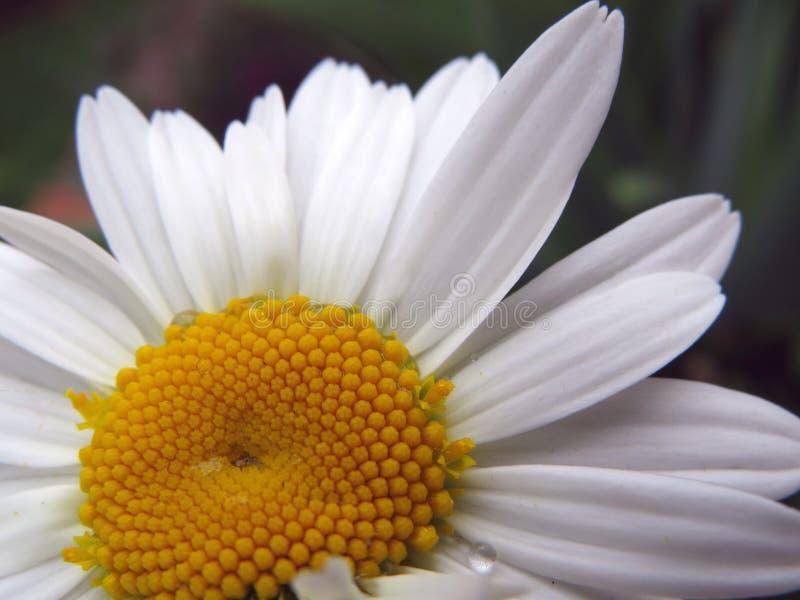 Les pétalos de Flor blanco photos stock