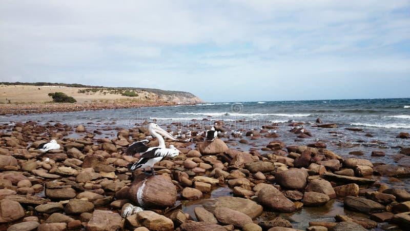 Les pélicans charge dessus la plage image stock