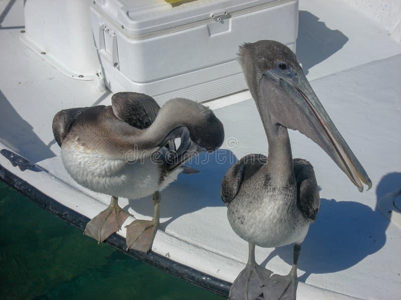 les pélicans se reposent sur un bateau photos libres de droits