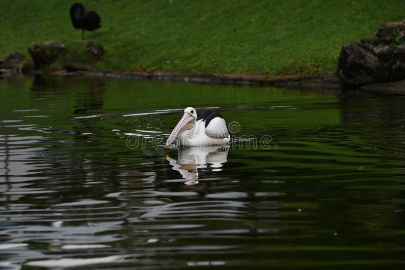 Les pélicans, sont les oiseaux d'eau qui ont des sacs sous leurs becs, ailes noires, avec les corps blancs photos stock