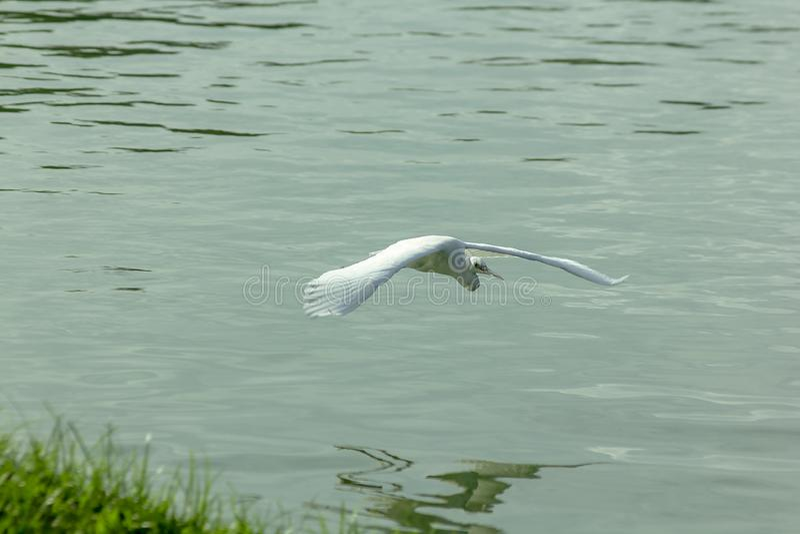 Les pélicans volent au-dessus de l'eau dans le lac photo stock