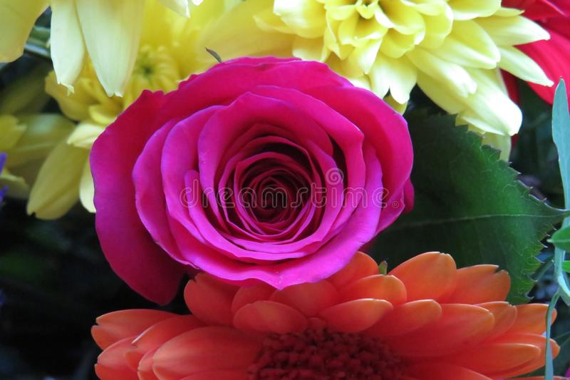 Les pétales de rose anglais se sont pliés dans une floraison de bourgeon photographie stock libre de droits