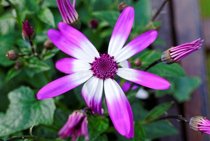 Les pétales violets et blancs du ressort de marguerite fleurissent photos stock