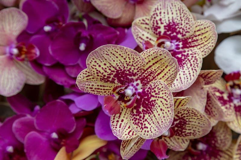 Les p?tales d'orchid?es mod?lent photographie stock libre de droits