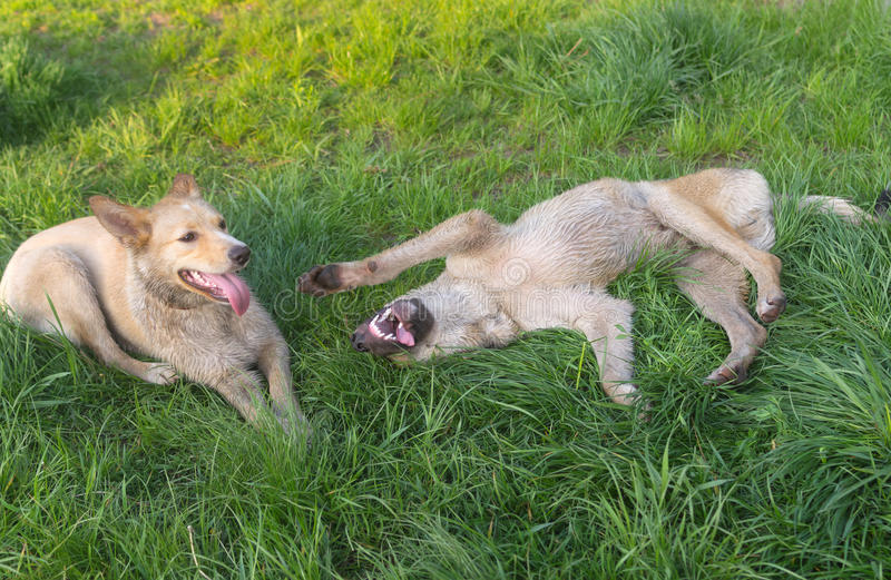 Les paires de jeunes métissent les chiens égarés jouant sur une herbe de ressort images libres de droits