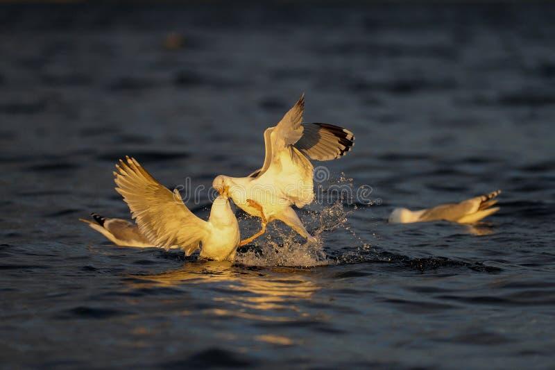 Les paires de mouette d'harengs luttent pour les poissons contagieux, la Mer du Nord images stock