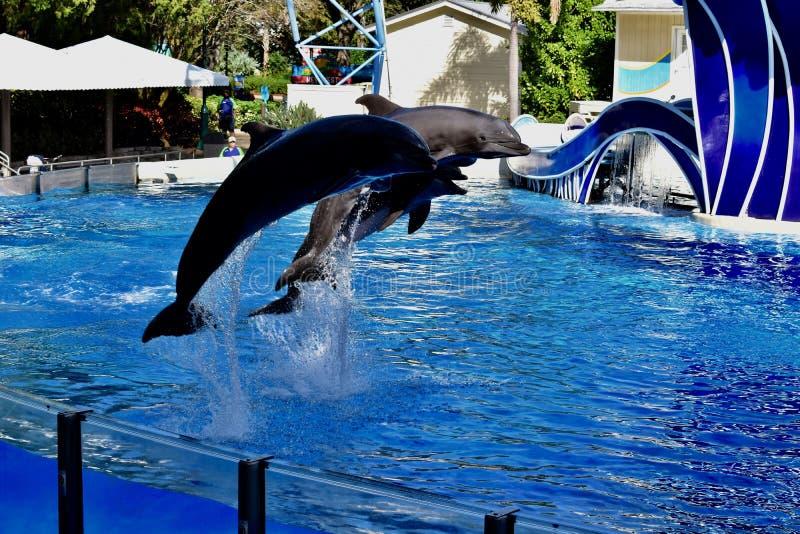 Les paires volantes d'affichage de dauphins images libres de droits