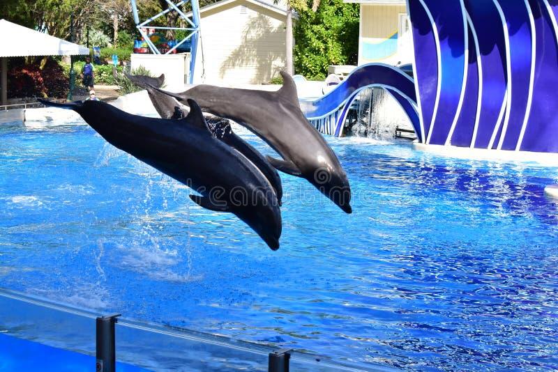 Les paires volantes d'affichage de dauphins images stock