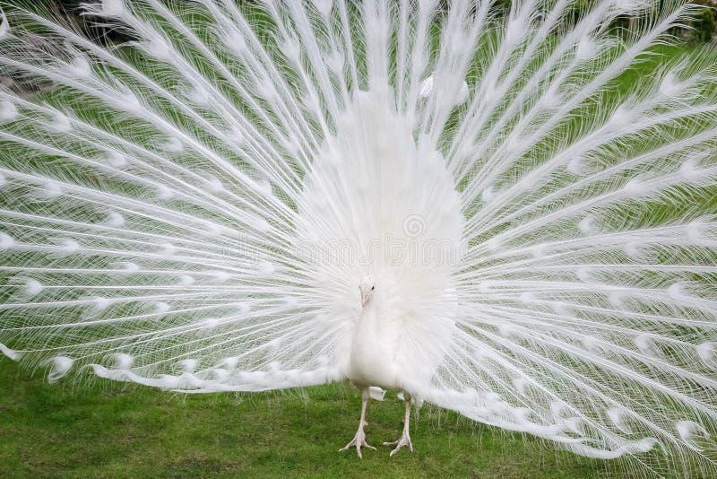 Les paons blancs masculins sont les queue-plumes écartées III photographie stock libre de droits