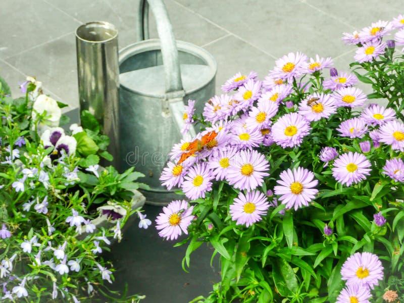 Les papillons alimentant de l'aster fleurit sur la terrasse images libres de droits