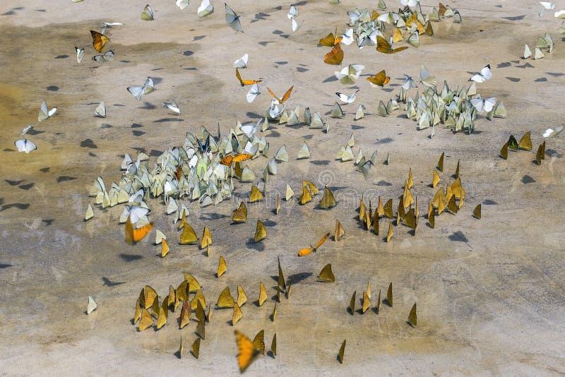 Les papillons apparaissent tôt pendant l'été image stock