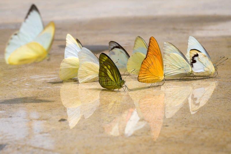 Les papillons apparaissent tôt pendant l'été images stock