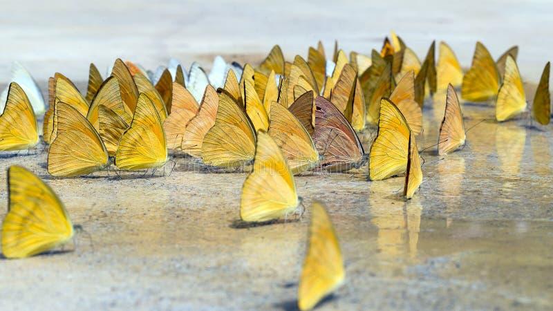 Les papillons apparaissent tôt pendant l'été photos stock