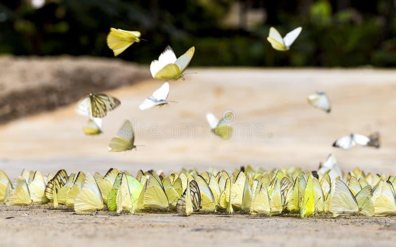 Les papillons apparaissent tôt pendant l'été image libre de droits