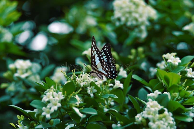Les papillons bleus noirs blancs sont perché sur les fleurs blanches et le congé vert frais photographie stock libre de droits