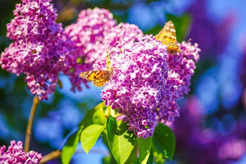 Les papillons oranges se reposent sur des fleurs sur une branche d'un arbre lilas image stock