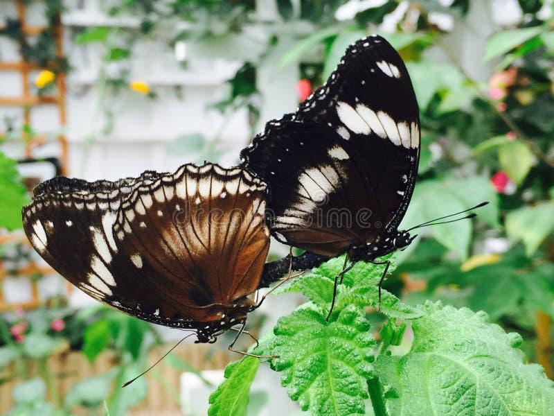 Les papillons sont sur une feuille photos stock