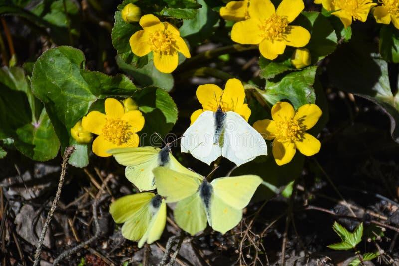 Les papillons volent à côté des fleurs jaunes image stock