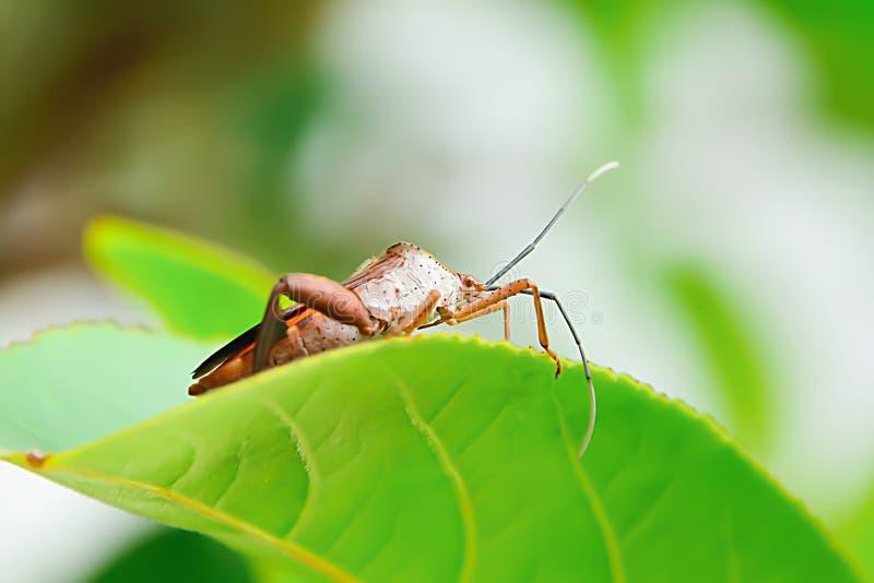 Les parasites d'insecte sont des insectes qui mangent des insectes ensemble comme nourriture image libre de droits