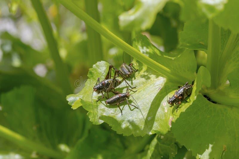Les paros de Poecilimon de colonie de sauterelle se reposant sur le plan rapproch? d'usine images stock