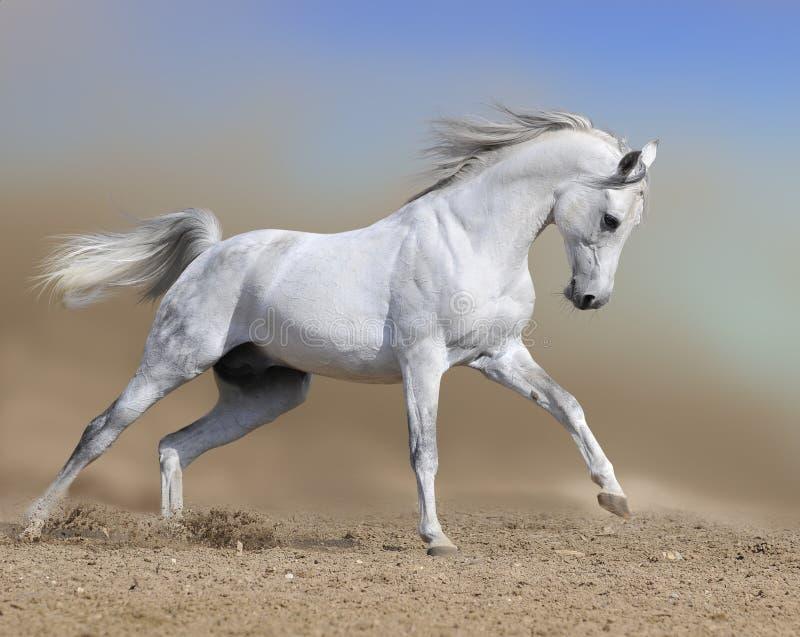 Les passages d'étalon de cheval blanc galopent dans le désert de la poussière photos libres de droits