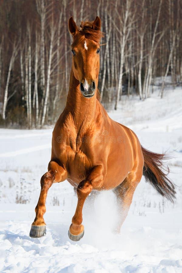 Les passages rouges de cheval galopent en hiver photos stock
