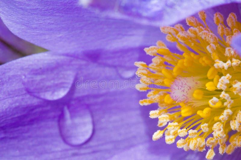 Les patens d'anémone de crocus de prairie avec la pluie laisse tomber là-dessus des pétales du ` s image stock